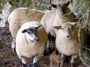 Burwarton_sheep